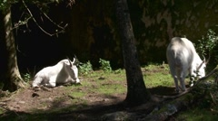Rocky mountain goat Stock Footage