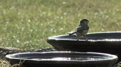 Blue Tit drinks from bowl. Stock Footage