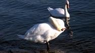 White swan Stock Footage