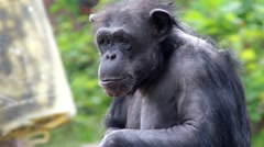 Close up of interesting monkey sitting and looking around Stock Footage