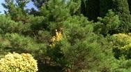 Spruce bush Stock Footage