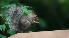Cute squirrel eating a nut Stock Footage