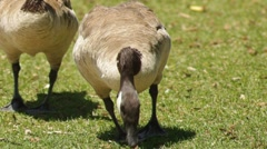 Waddling Canadian Geese Stock Footage