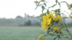 Stock Footage - Yellow wild flower with Myst Mist and dew at Sunrise Stock Footage