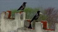 Turkey Istanbul Raven Crow bird on chimney Stock Footage