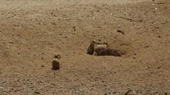 Prairie Dogs Stock Footage