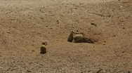 Stock Video Footage of Prairie Dogs