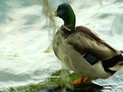 Mallard Duck 2 Stock Footage