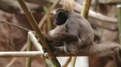 Variegated Spider Monkey Stock Footage