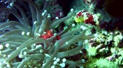 Orang-utan crab (Achaeus japonicus) on mushroom coral Stock Footage