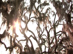 Oak Tree w/ Spanish Moss 12 Stock Footage