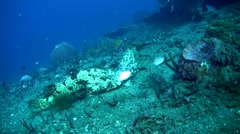 Two brown-marbeled grouper (Epinephelus fuscoguttatus) eating pufferfish Stock Footage