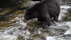 Black Bear jumps in river Stock Footage