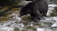 Stock Video Footage of Black Bear jumps in river