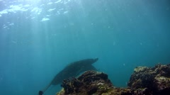 Black giant manta ray (Manta blevirostris) swimming close by - stock footage