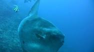 Ocean sunfish (Mola mola) close then swim away Stock Footage