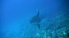 Ocean sunfish (Mola mola) blurred by thermocline Stock Footage