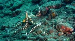 Wonderpus octopus (Wunderpus photogenicus) crawling Stock Footage