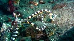 Wonderpus octopus (Wunderpus photogenicus) - stock footage