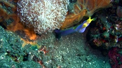 Ribbon eel (Rhinomuraena quaesita) blue and yellow Stock Footage