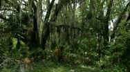 Stock Video Footage of Swamp and Moss Jungle Scene