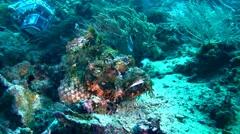 Tasseled scorpionfish (Scorpaenopsis oxycephala) opening mouth Stock Footage