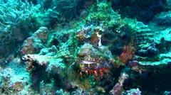 Tasseled scorpionfish (Scorpaenopsis oxycephala) swimming Stock Footage