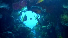 Shaded batfish (Platax pinnatus) on liberty wreck Stock Footage
