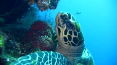 Hawksbill turtle (Eretmochelys imbricata) eating Stock Footage