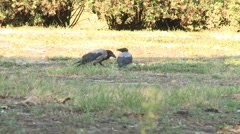 Magpies eating Stock Footage