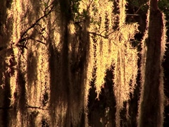 Oak Tree w/ Spanish Moss 5 Stock Footage