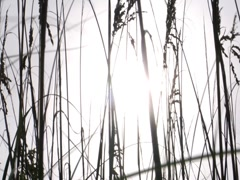 Sea Oat 4 - stock footage