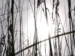 Sea Oat 3 - stock footage