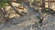 Stock Video Footage of Arizona Roadrunner