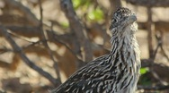 Stock Video Footage of Roadrunner Closeup