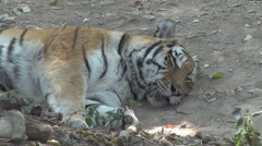 Tiger relaxing Stock Footage