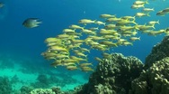 A school of goat fishes Stock Footage