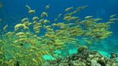 A school of goat fishes in the Red Sea Stock Footage