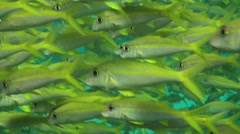 A close-up of a school of goat fishes Stock Footage