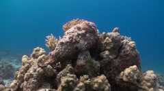 Stonefish on top of coral block Stock Footage