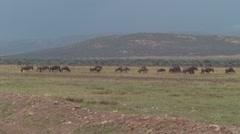 Wildebeest Non-conformist Stock Footage