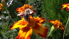 honey bee pollinate - stock footage