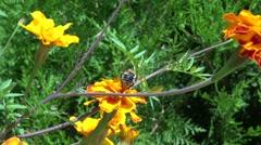 honey bee pollinate - stock footage