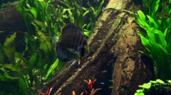 Discus Fish - Symphysodon 20110925-125728 Stock Footage