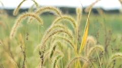 Field; breeze blowing Stock Footage