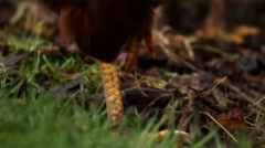 Chickens 04 - chicken feet walking across grass - stock footage