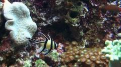 Apogon kaudermi / Pterapogon kaudermi 20110925-130210 Stock Footage