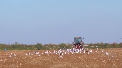 Seabirds follow a powered harrow to find food. Slow motion Stock Footage