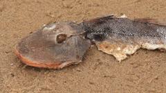 Dead Fish on a Beach 2 Stock Footage