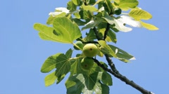 Ripe Figs On A Tree Against Blue Sky Stock Footage